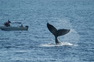 Humpback Whale, target for whaling