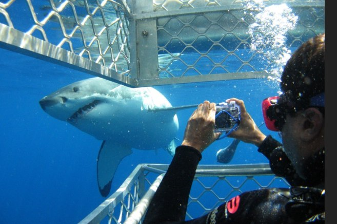 image cage diving with great white - Google Search