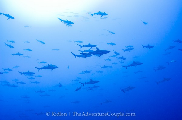 hundreds of grey reef sharks off the corner