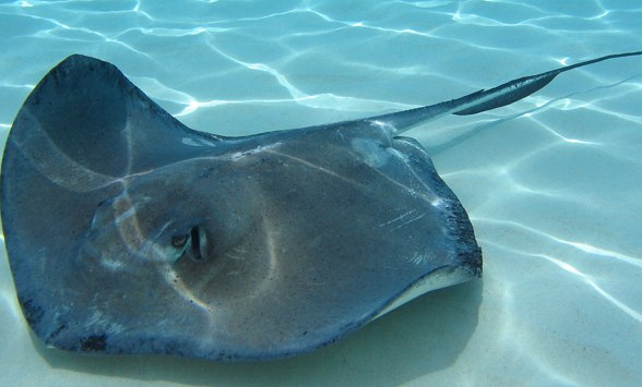Why Manta Rays Rock or… What's Your Favorite Marine Critter